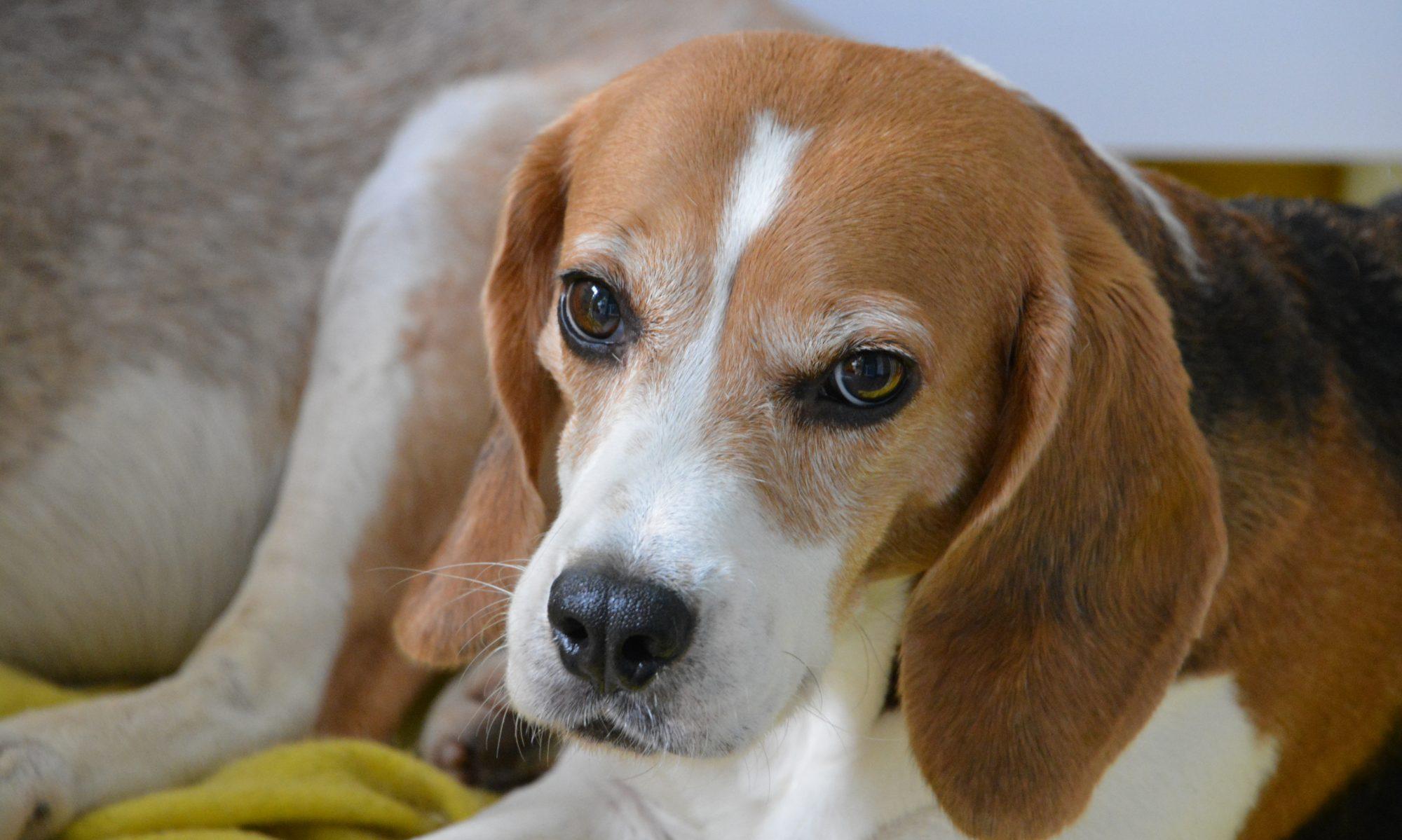 BDG Beagles